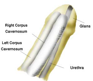 Normal penis anatomy longitudinal section