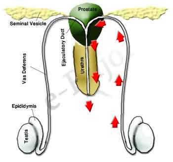 Sperm leave the testis into the vasa efferentia-->epididymis-->vas deferens-->ejaculatory ducts--> urethra