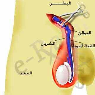 يتم علاج دوالي الخصيتين بغلق الأوردة المريضة جراحياً (ربطها و ليس استئصالها)، و ترك الأوردة السليمة علي حالها، بحيث يتم تصريف الدم المحمل بالنفايات بكفاءة، و بدون تراكم في الأوردة المتسعة